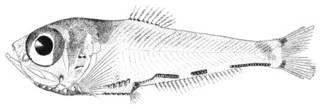 To NMNH Extant Collection (Argyripnus ephippiatus P01188 illustration)