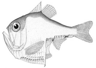 To NMNH Extant Collection (Argyropelecus antrorsospinus P01202 illustration)