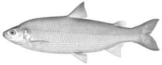 To NMNH Extant Collection (Argyrosomus eriensis P01235 illustration)