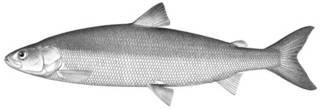 To NMNH Extant Collection (Argyrosomus huronius P01241 illustration)