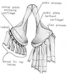 To NMNH Extant Collection (Argyriphus atlanticus P15381 illustration)