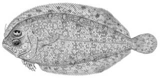 To NMNH Extant Collection (Arnoglossus japonicus P01273 illustration)