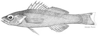 To NMNH Extant Collection (Serranus beta P05494 illustration)