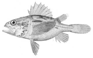 To NMNH Extant Collection (Setarches parmatus P05451 illustration)