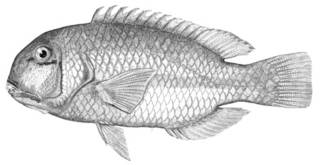 To NMNH Extant Collection (Choerops zamboangae P03112 illustration)