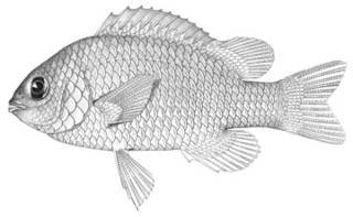 To NMNH Extant Collection (Chromis elapharus P03144 illustration)