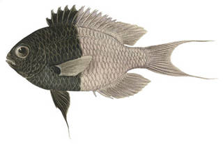 To NMNH Extant Collection (Chromis iomelas P03147 illustration)