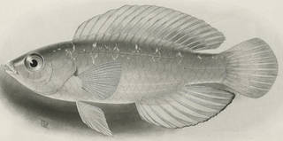 To NMNH Extant Collection (Cirrhilabrus jordani P03198 illustration)