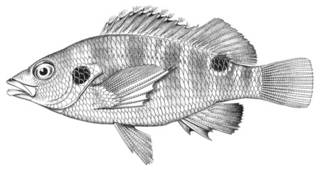 To NMNH Extant Collection (Cirrhitoidea bimacula P03206 illustration)