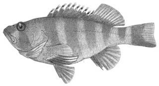 To NMNH Extant Collection (Cirrhitoidea sexfasciatus P03207 illustration)