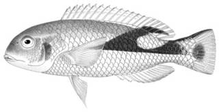 To NMNH Extant Collection (Choerops jordani P03230 illustration)
