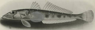 To NMNH Extant Collection (Chrionema chryseres P09228 illustration)