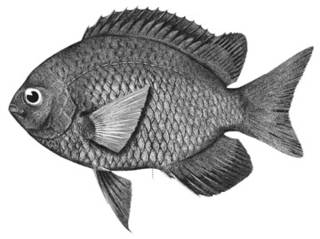 To NMNH Extant Collection (Chromis verater P15718 illustration)