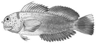 To NMNH Extant Collection (Cirripectes jenningsi P03224 illustration)