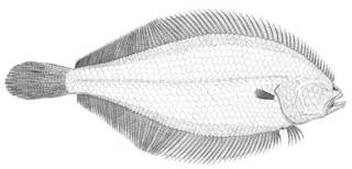 To NMNH Extant Collection (Citharichthys arctifrons P03238 illustration)