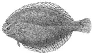 To NMNH Extant Collection (Citharichthys arenaceus P03239 illustration)