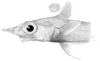 To NMNH Extant Collection (Coelocephalus acipenserinus P03302 illustration)