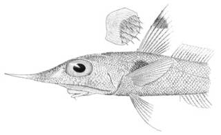 To NMNH Extant Collection (Coelocephalus gladius P03303 illustration)