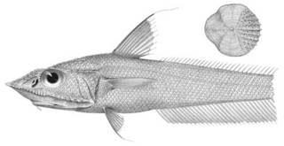 To NMNH Extant Collection (Coelorhynchus acantholepis P03307 illustration)
