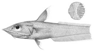 To NMNH Extant Collection (Coelorhynchus carinifer P03320 illustration)