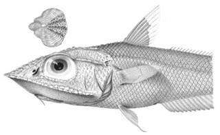 To NMNH Extant Collection (Coelorhynchus chilensis P03322 illustration)