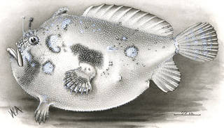 To NMNH Extant Collection (Antennarius duescus P00732 illustration)