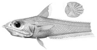 To NMNH Extant Collection (Coelorhynchus patagoniae P03340 illustration)
