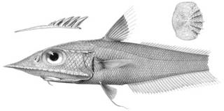To NMNH Extant Collection (Coelorhynchus smithi P03349 illustration)