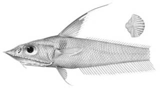 To NMNH Extant Collection (Coelorhynchus triocellatus P03352 illustration)
