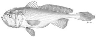 To NMNH Extant Collection (Collichthys fragilis P03360 illustration)