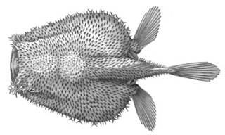 To NMNH Extant Collection (Coelophrys mollis P03364 illustration)