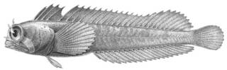 To NMNH Extant Collection (Coralliozetus cardonae P03416 illustration)