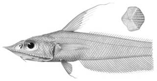 To NMNH Extant Collection (Coelorhynchus dorsalis P03331 illustration)