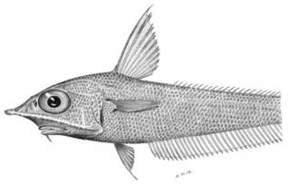 To NMNH Extant Collection (Coelorhynchus jordani P03333 illustration)