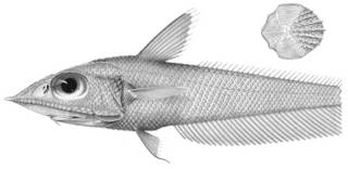 To NMNH Extant Collection (Coelorhynchus macrolepis P03335 illustration)