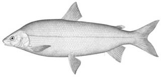 To NMNH Extant Collection (Coregonus clupeaformis P03447 illustration)