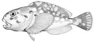 To NMNH Extant Collection (Cottunculus brephocephalus P03681 illustration)