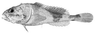 To NMNH Extant Collection (Cottunculus microps P03682 illustration)
