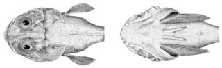 To NMNH Extant Collection (Cottunculus microps P03683 illustration)
