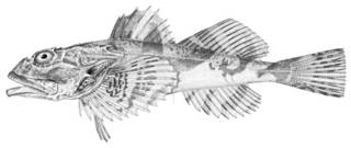 To NMNH Extant Collection (Cottus polyacanthocephalus P03719 illustration)