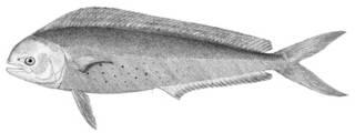 To NMNH Extant Collection (Coryphaena hippurus P03629 illustration)