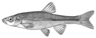 To NMNH Extant Collection (Couesius plumbeus P03729 illustration)
