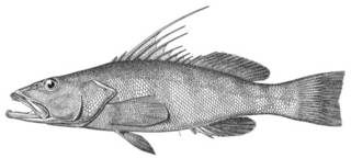 To NMNH Extant Collection (Cratinus agassizii P03731 illustration)