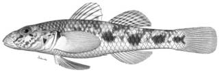 To NMNH Extant Collection (Ctenogobius hadropterus P03818 illustration)