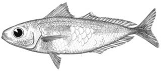 To NMNH Extant Collection (Cubiceps nigriargenteus P03827 illustration)