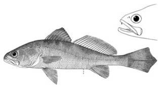 To NMNH Extant Collection (Cynoscion maracaiboensis P03906 illustration)