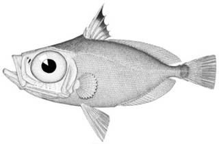 To NMNH Extant Collection (Cyttus hololepis P03985 illustration)