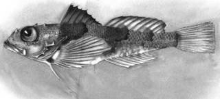 To NMNH Extant Collection (Daruma sagamia P04117 illustration)