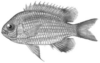 To NMNH Extant Collection (Dascyllus pomacentroides P04122 illustration)