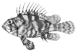 To NMNH Extant Collection (Dendrochirus chloreus P04157 illustration)